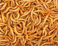 500 Large Mealworms Products