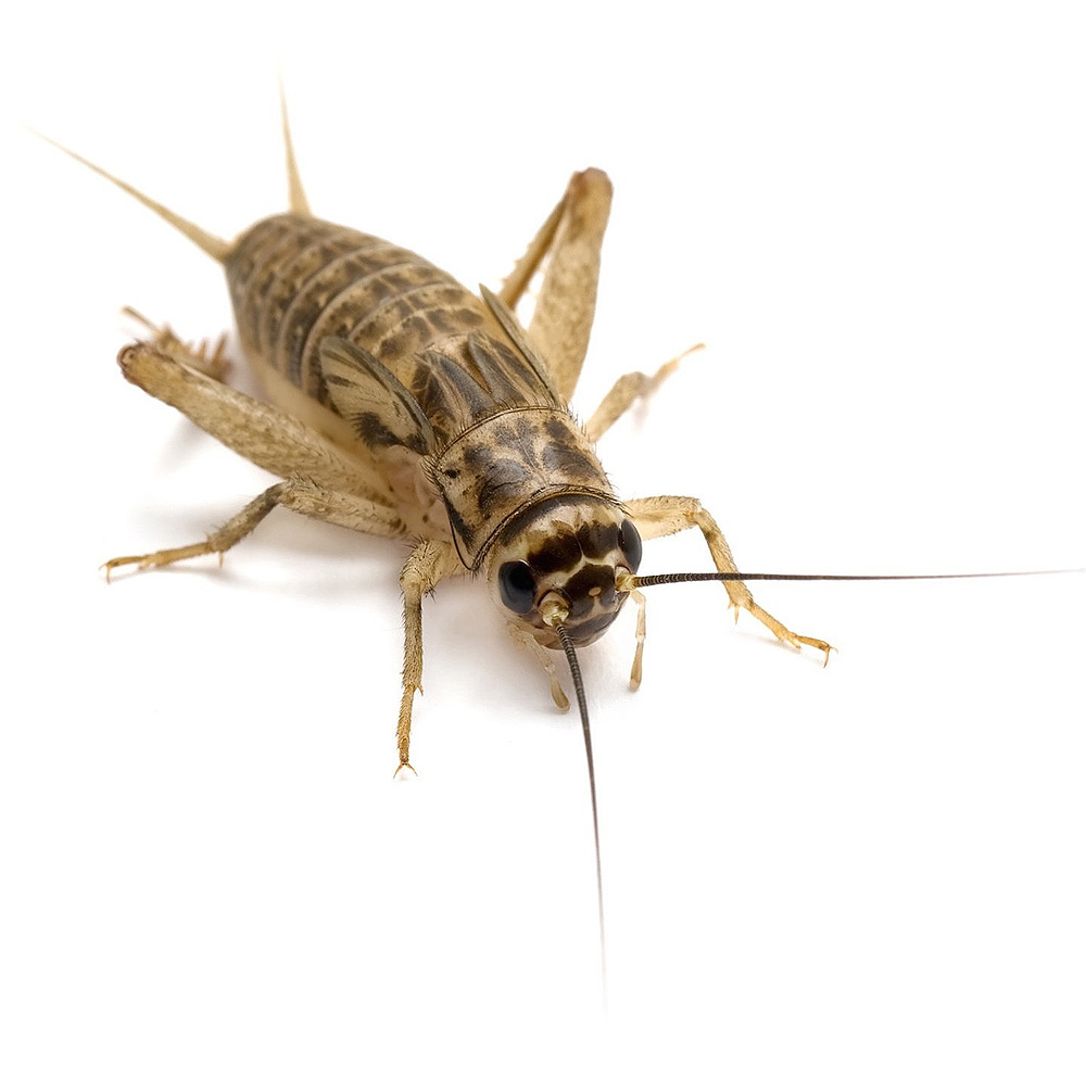 500 7 Day Crickets Products