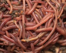 24 Red Wigglers Products