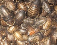 500 Small Dubia Roaches Products