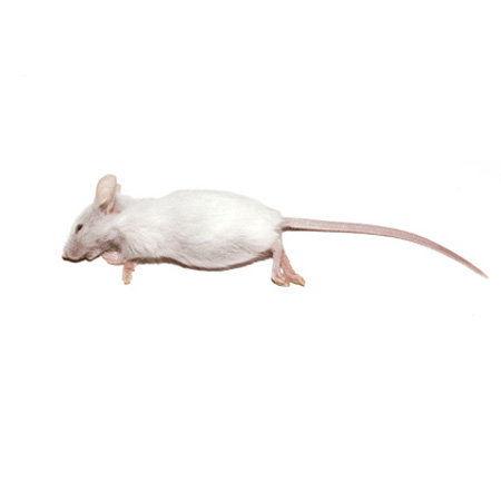 50 Large Mice Products
