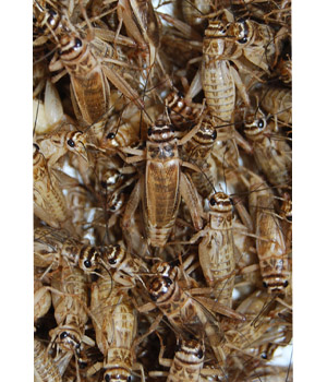 Crickets - image