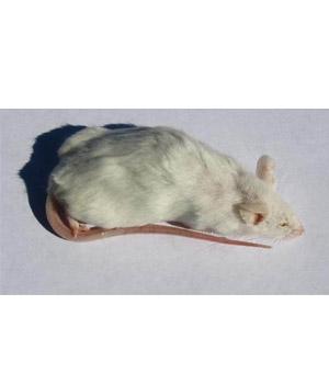 Frozen Rats - image